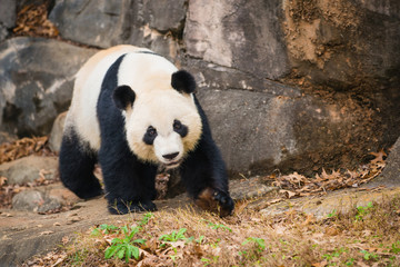 Portrait of giant panda
