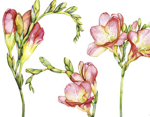 Watercolor with Freesia
