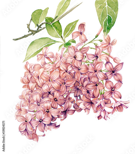 Watercolor with Lilac in blossom