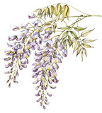Wisteria watercolor