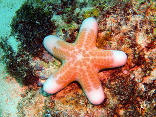 Starfish, island Maktan, Philippine