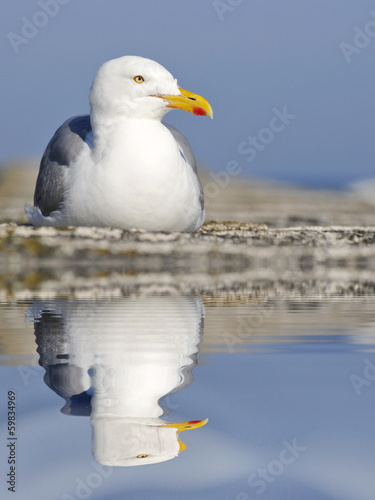 Herring gull with big reflection on water
