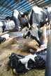 A cow with a newborn calf on a dairy farm