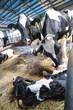 A cow with a newborn calf on a dairy farm