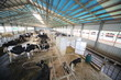 Cows and calves in hangar with metal floor on dairy farm