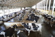 Many cows in hangar with metal floor on dairy farm