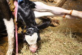 People help the calf is born in the stable