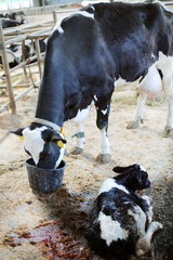 Cow drinking from bucket next to newborn calf on dairy farm