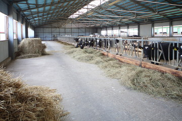 A large hangar with cows on the dairy farm