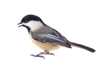 Chickadee Isolated