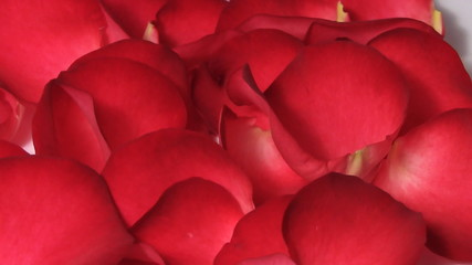 Red rose petals turning macro