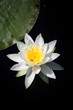 Water lily flower in the pond