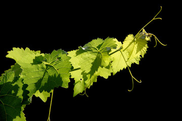 Grape vine on black background