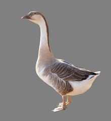 Goose on a gray background