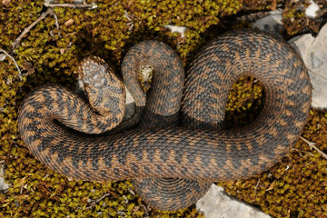 female Vipera berus pattern