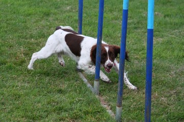 working type english springer spaniel gundog pet agility weaves