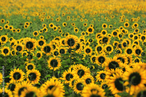 Beautiful Sunflower in the field