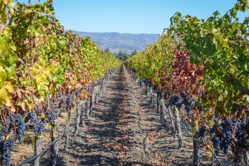 Vineyard in Autumn in Napa Valley California