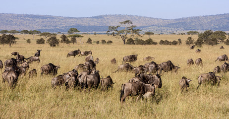 Group Of Wildebeests In The Wilderness