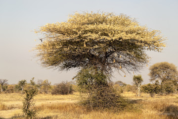 Typical African Trees In Tanzania
