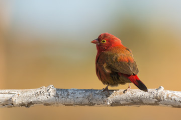 Male Red-billed Firefinch (Lagonosticta senegala)
