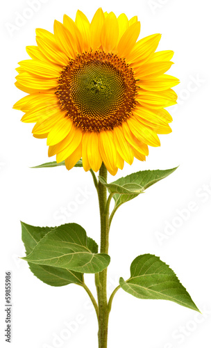 Sunflower - 59855986
