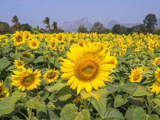 Sunflower field in Lopburi, Thailand