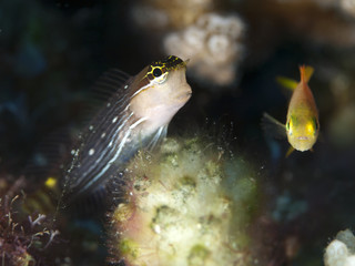 Pictus blenny