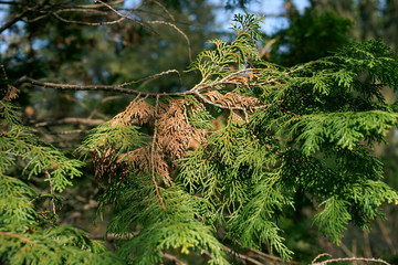 Dieback of shoots thuja