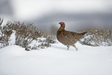 Red grouse, Lagopus lagopus