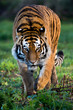 Siberian Tiger - 59878347