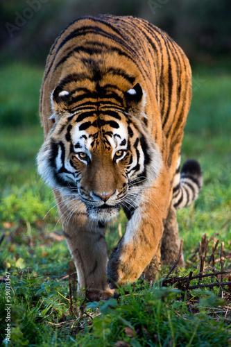 Deurstickers Tijger Siberian Tiger