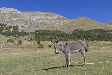 Esel auf Bergwiese