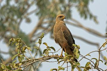 Savanna hawk, Buteogallus meridionalis