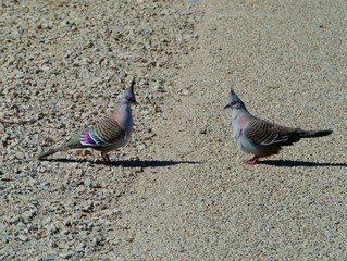Crested Pigeons or Top Notch Pigeons