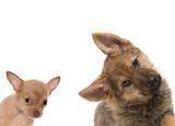 German shepherd and chichuahua puppy