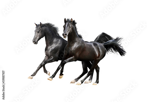 two black arab horses isolated on white