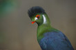 Beautiful Turaco Bird