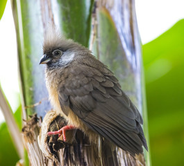 Speckled Mousebird Colius - striatus