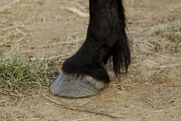 horse leg and hoof