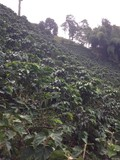 visit in coffee plantation