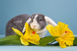 Mini-lop rabbit with daffodils