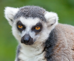 Portrait of a lemur against green vegetation