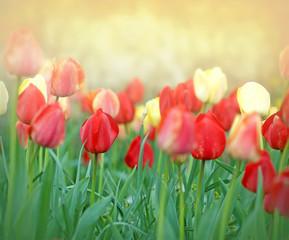 Tulips - Flower garden of tulips
