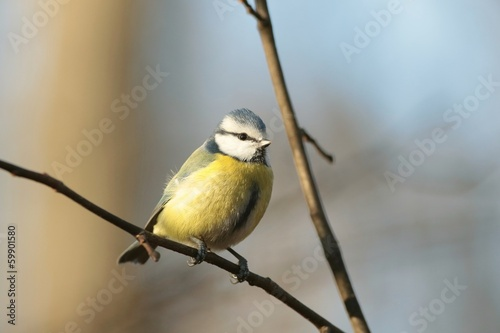 Blue tit (Parus caeruleus) on a twig in autumn morning