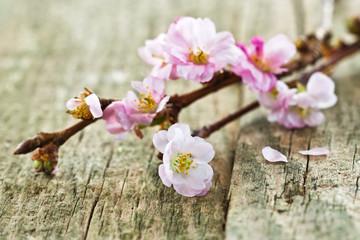 Kirschblüten auf Holz, Blütenzweig