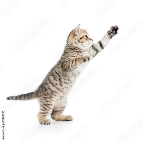 jumping british kitten isolated on white background