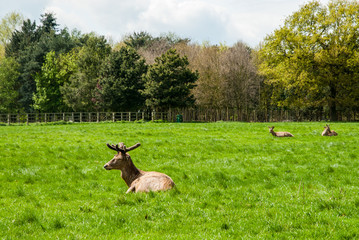 Deer stag resting on the grass