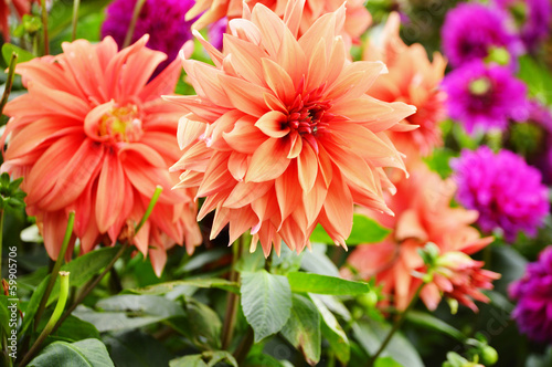 Blooming dahlias in the garden on September