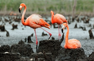 Flamingo (Phoenicopterus ruber) colony.